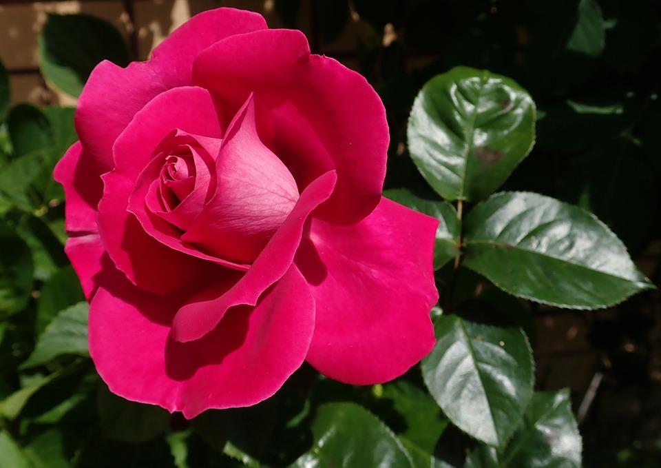 Rose, Red, Flower, Fragrant, Garden, Nature