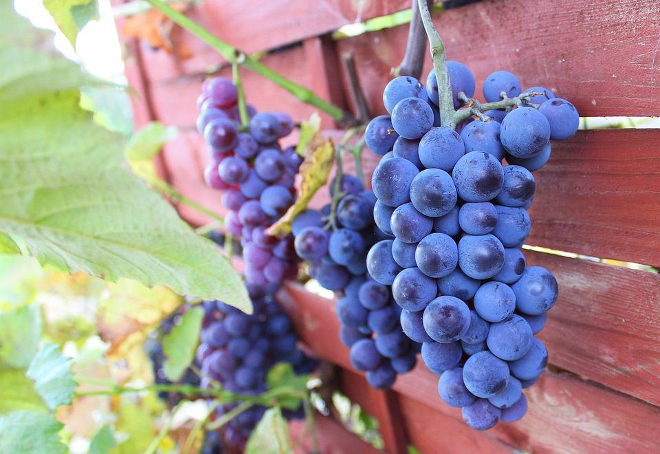 Grapes, Autumn, Fruit, Garden, Nature, Dark, Fresh