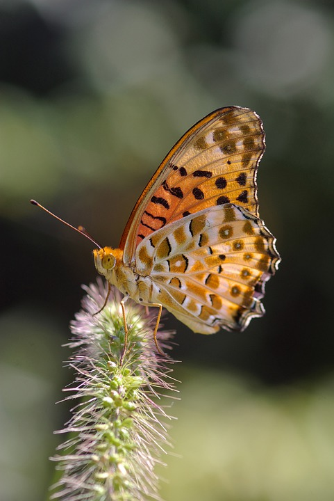 Butterfly, Insect, Garden, Fritillary