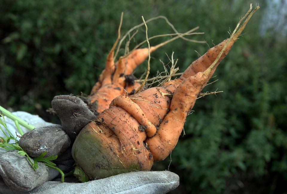 Carrot, Vegetables, Garden, Crops, Summer, Green