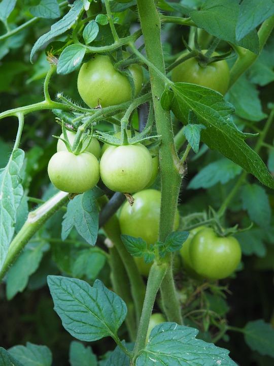 Tomato, Immature, Green, Vegetables, Garden