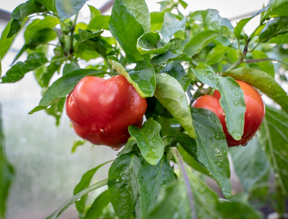 Paprika, Red Pepper, Healthy, Garden, Harvest