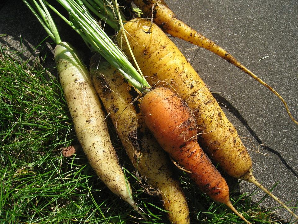 Carrots, Colors, Harvest Time, Garden, Autumn, Skälkar