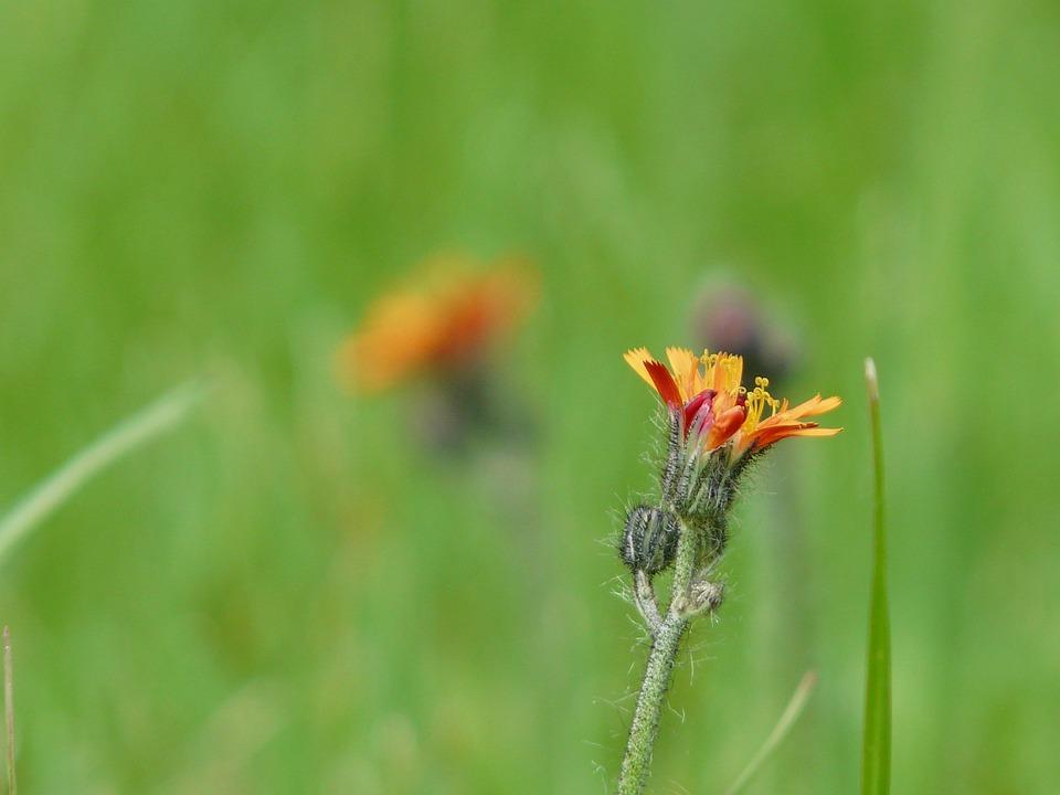 Hawkweed, Garden, Weeds