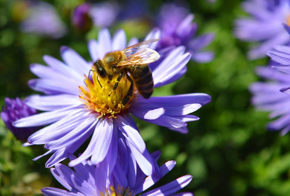 Free Photo Garden Herbstaster Aster Nature Bee Max Pixel