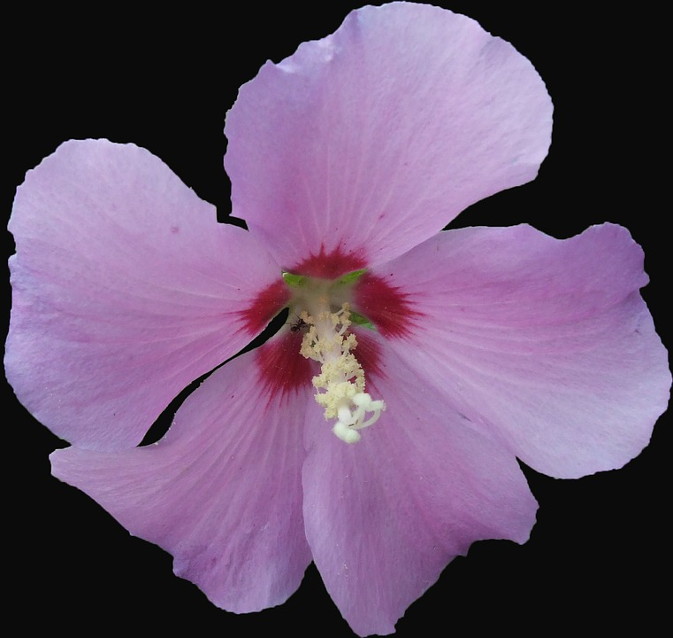 Hibiscus, Garden Hibiscus, Mallow, Pink, Purple