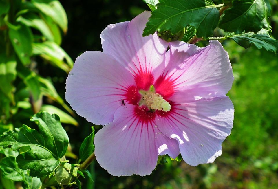 Hibiscus, Flower, Garden, Hibiscus Syriacus, Summer