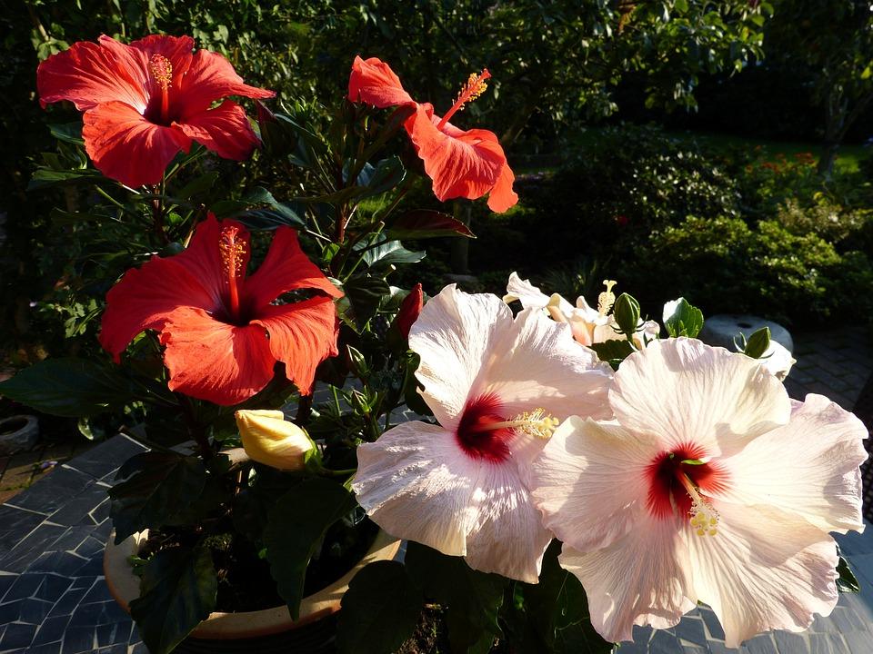 Hibiscus, Garden, House