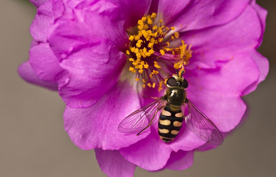 Hoverfly, Garden, Flower, Purple, Pollen, Insect, Close