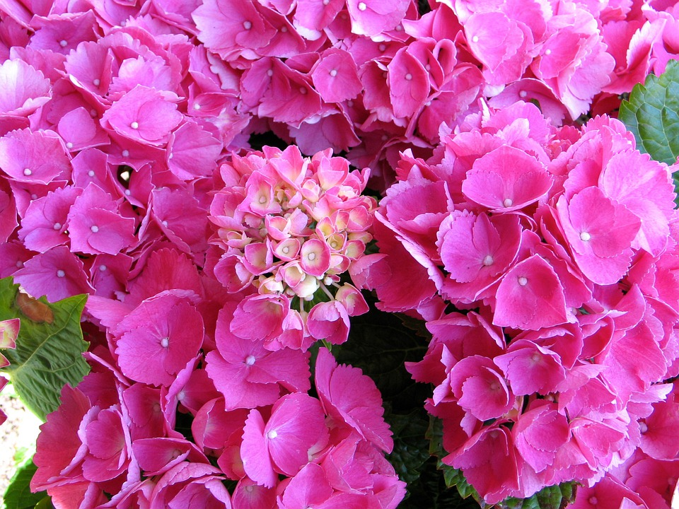 Bale Stock, Hydrangea, Pink, Garden, Flowers, Plant