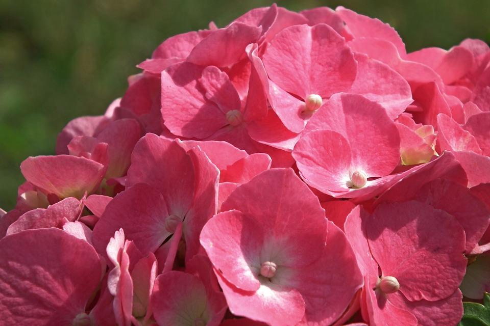 Free photo Garden Hydrangea Summer Pink Decorative Flower - Max Pixel
