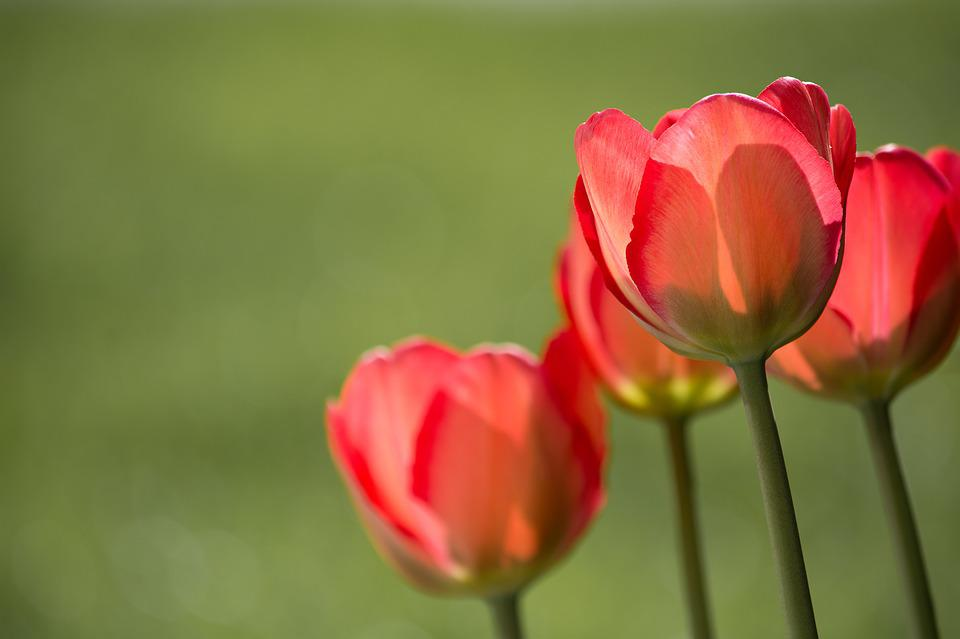Tulips, Red, Red Tulips, Garden, In The Garden, Nature