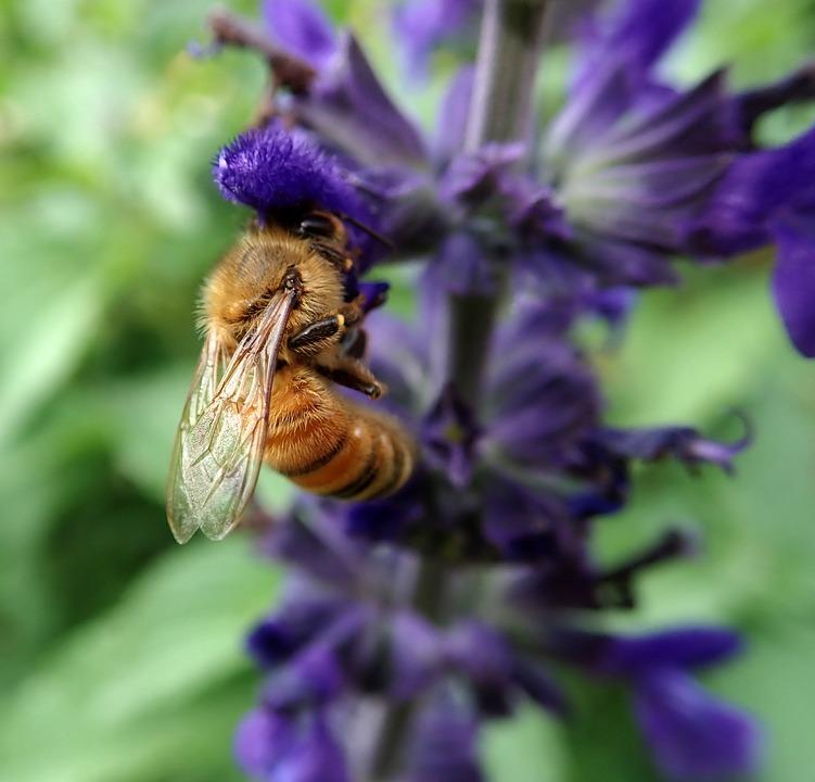 Bee, Insect, Pollen, Blue Flower, Salvia, Garden