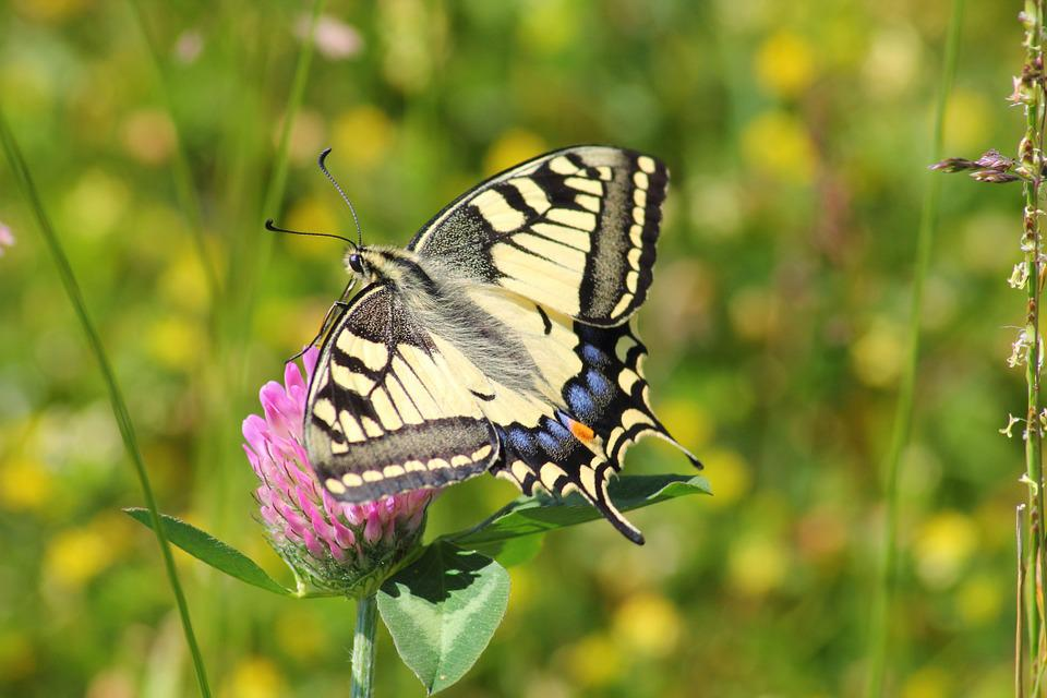 Butterfly, Insect, Garden, Swallowtail Butterfly