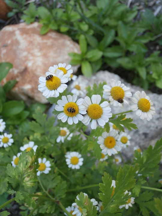 Chamomile, Insects, Garden, Plants Flowering