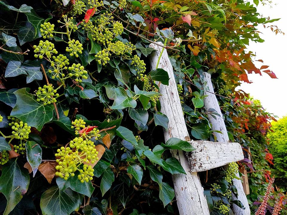 Ivy, Garden, Autumn, Head