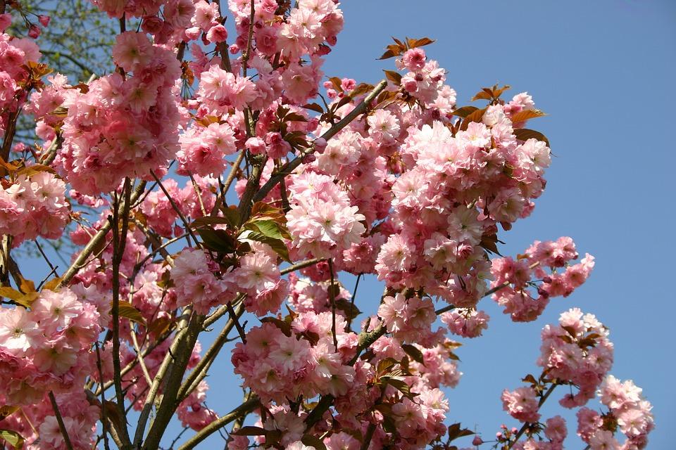 Japanese Cherry Blossom, Garden, Ornamental Cherry