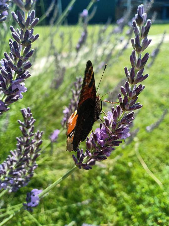 Butterfly, Peacock, Garden, Lavender, Close Up, Nature
