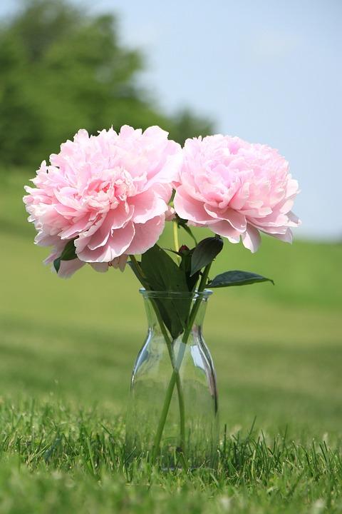 Peony, Lawn, Pink, Flower, Leaf, Garden, Spring, Bud