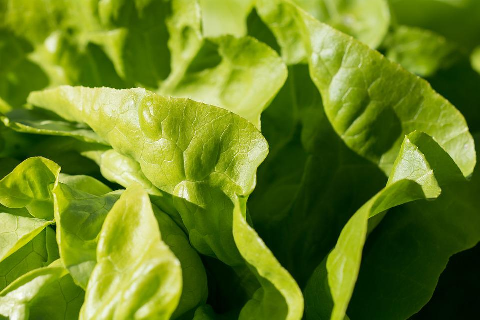 Salad, Green, Leaf Lettuce, Garden, In The Garden