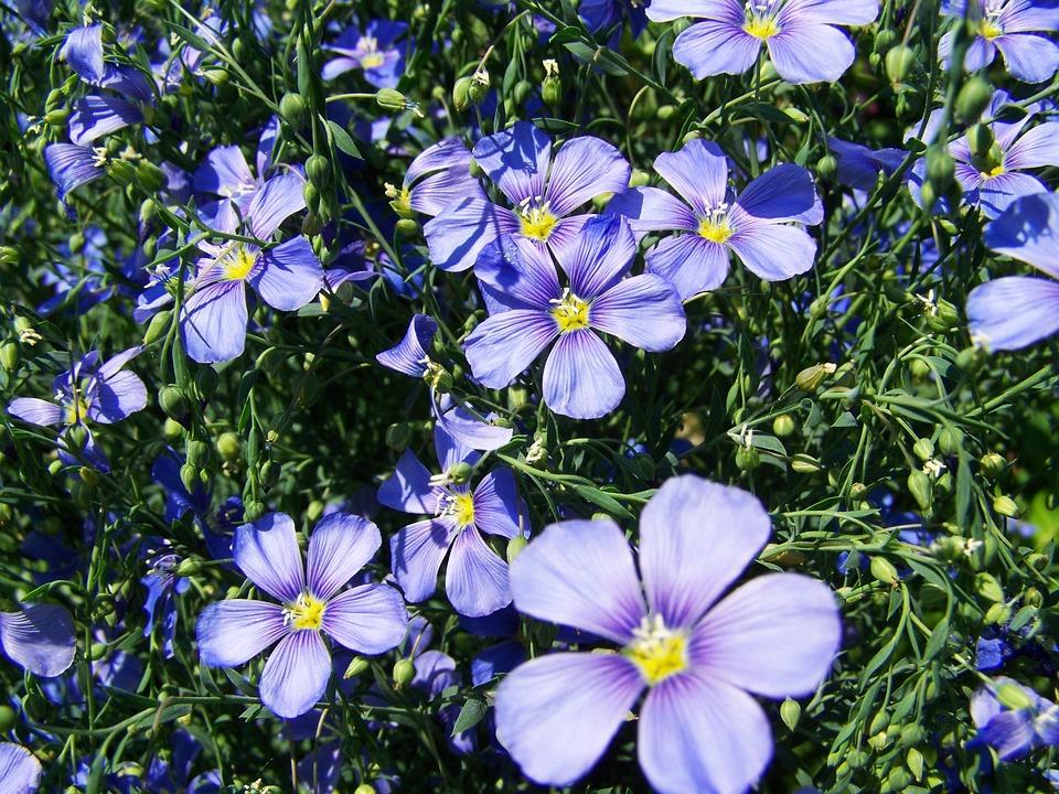 Cornflower, Light Blue, Garden