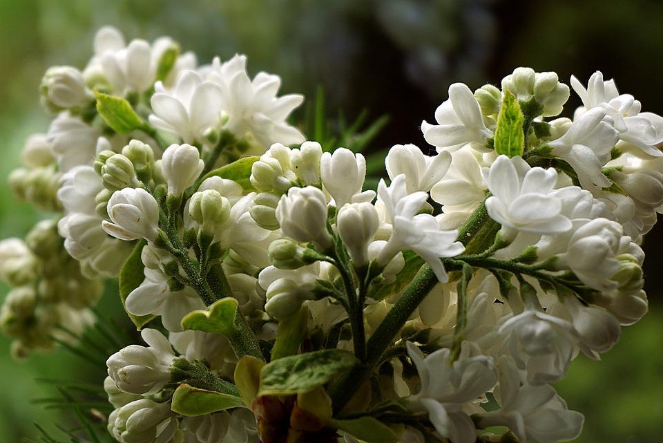 Lilac Flower, Without White, Garden, Flowers, Spring