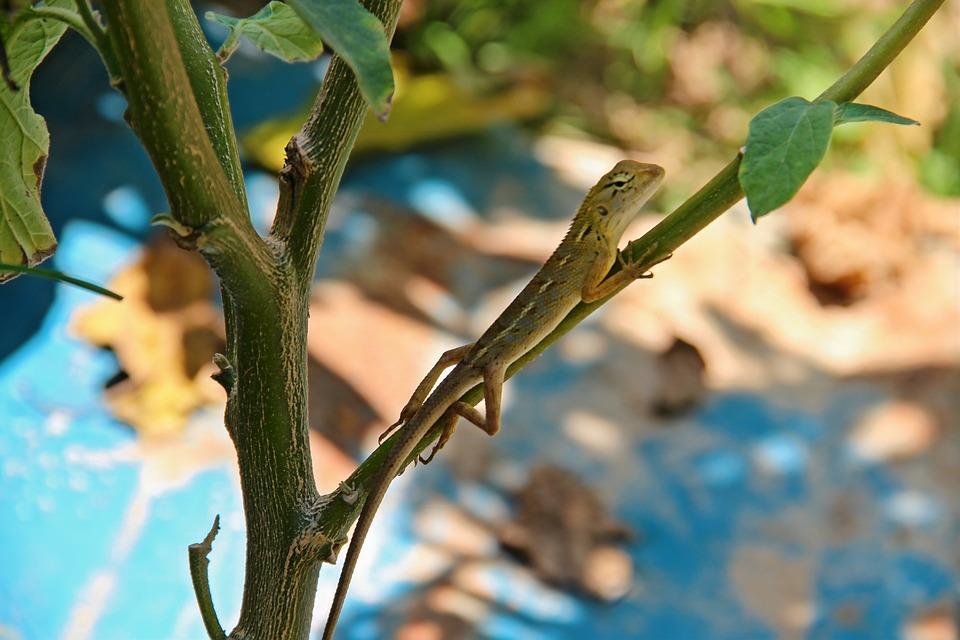 Lizard, Gecko, Garden, Reptile, Nature