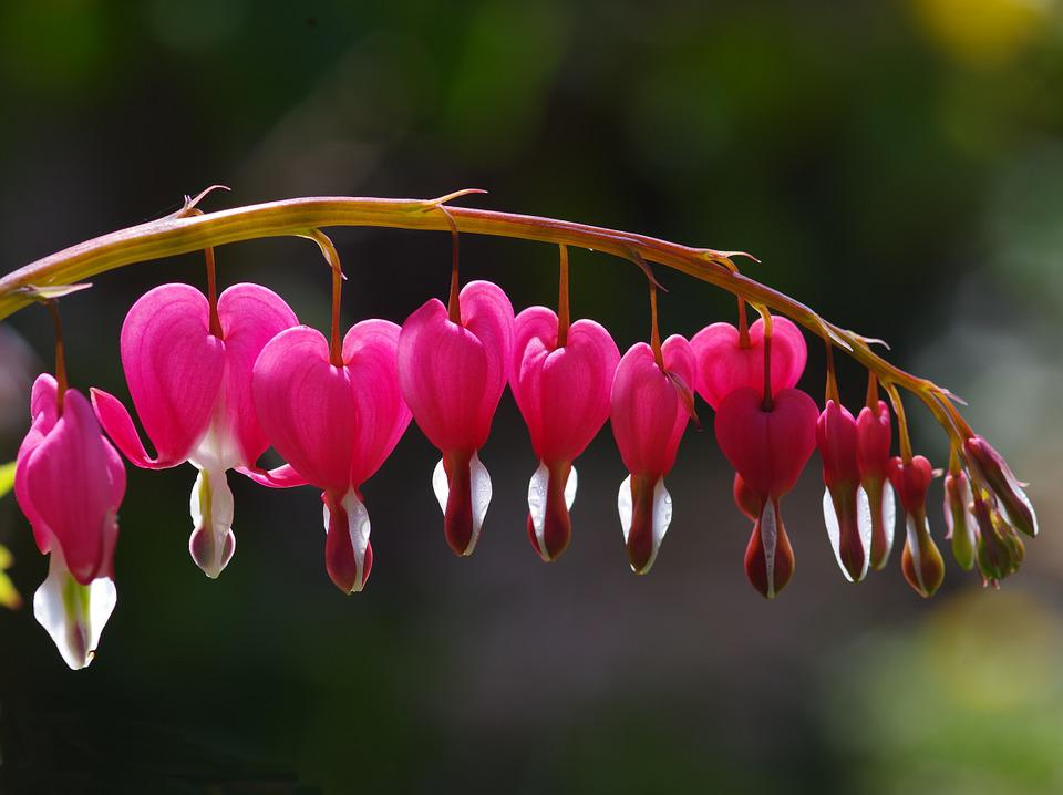 Bleeding Hearts, Hearts, Pink, Flower, Garden, Love
