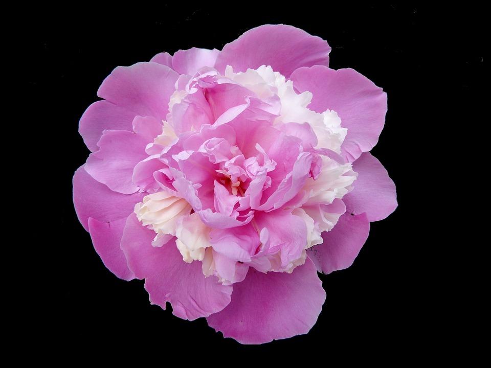 Peony Rose, Flowers, Nature, Garden, Macro, Spring