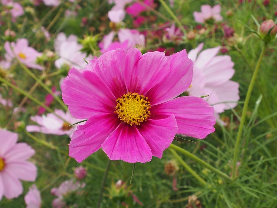 Nature, Flower, Summer, Garden, Pink, Meadow