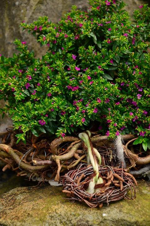 Myrtle, Myrthe, Myrtus Communis, Garden, Garden Plant