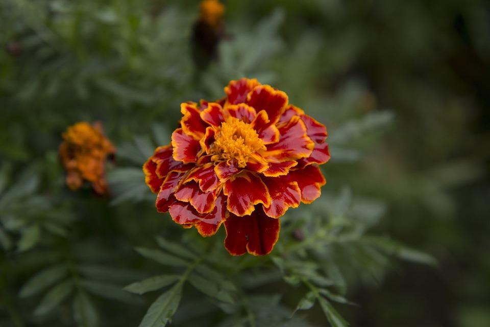 Marigold, Flower, Blossom, Natural, Bloom, Leaf, Garden