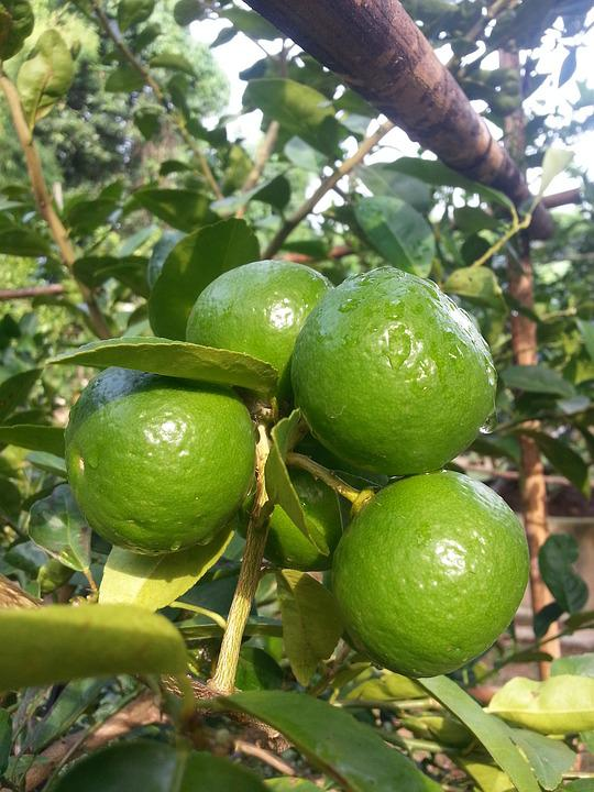 Lime, Plant, Garden, Green, Thailand, Natural, Growth
