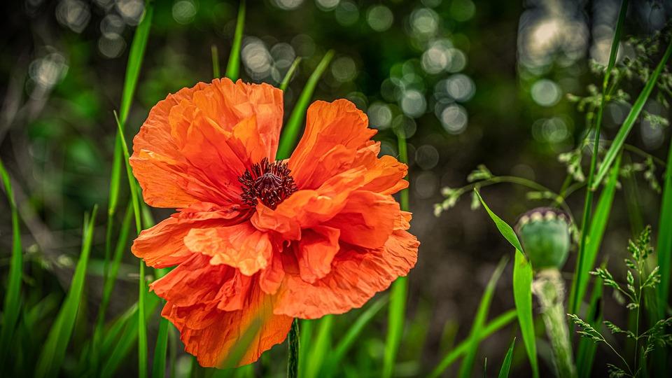 Poppy, Flower, Blossom, Bloom, Red, Nature, Garden