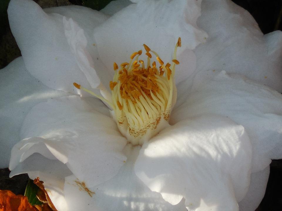 Flower, Camellia, Nature, Bloom, Plant, Garden, Spring