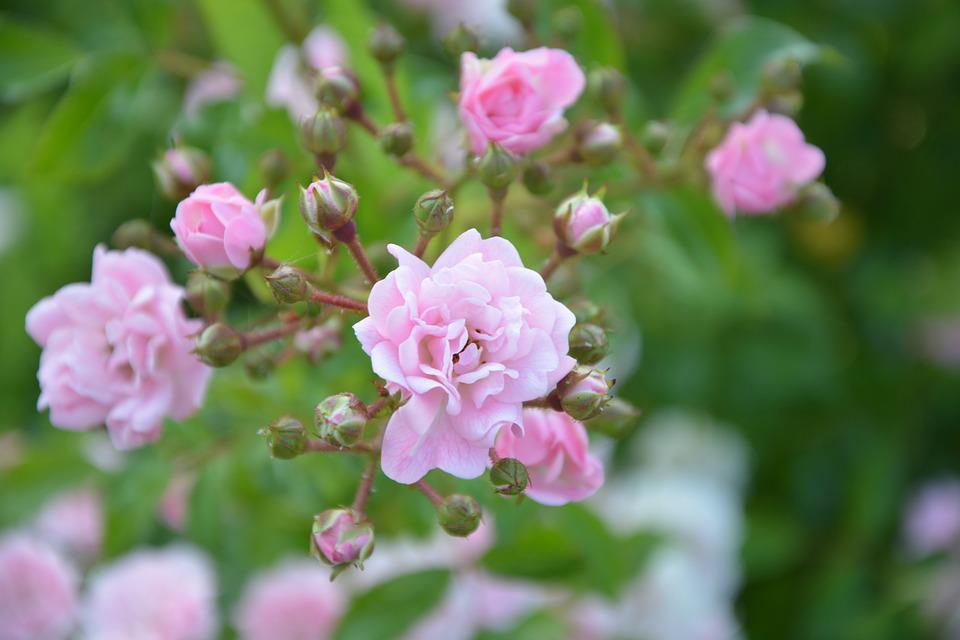 Rose Bud, Rosebush, Pink-pale, Nature, Garden, Bush