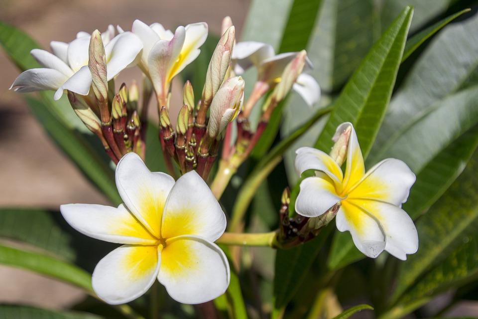 Plumeria Alba, Garden, Decoration, Nature, Plant