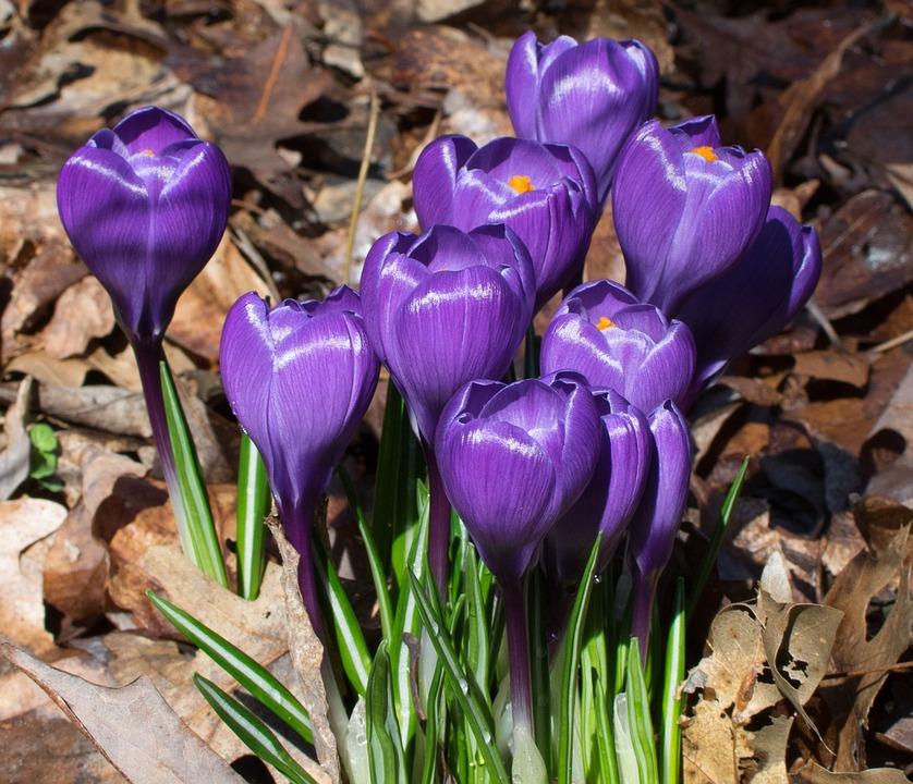 Flower, Nature, Garden, Flora, Crocus, Bulb, Plant