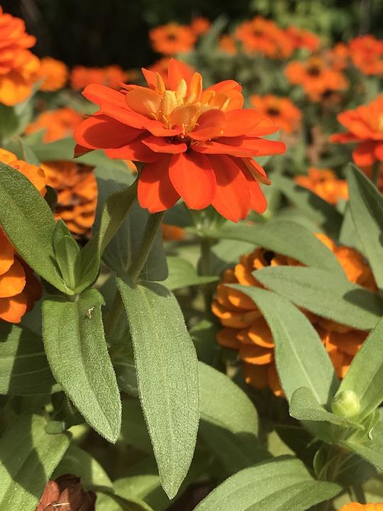 Flower, Nature, Flora, Garden, Summer