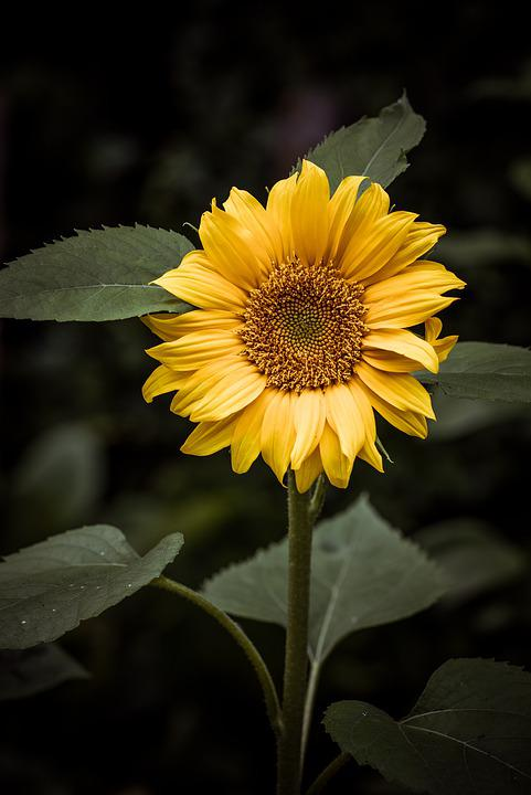 Sunflower, Garden, Yellow, Nature, Bloom, Flower Garden