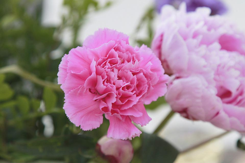 Flowers, Garden, Blossom, Nature, Flower, Flora, Pink