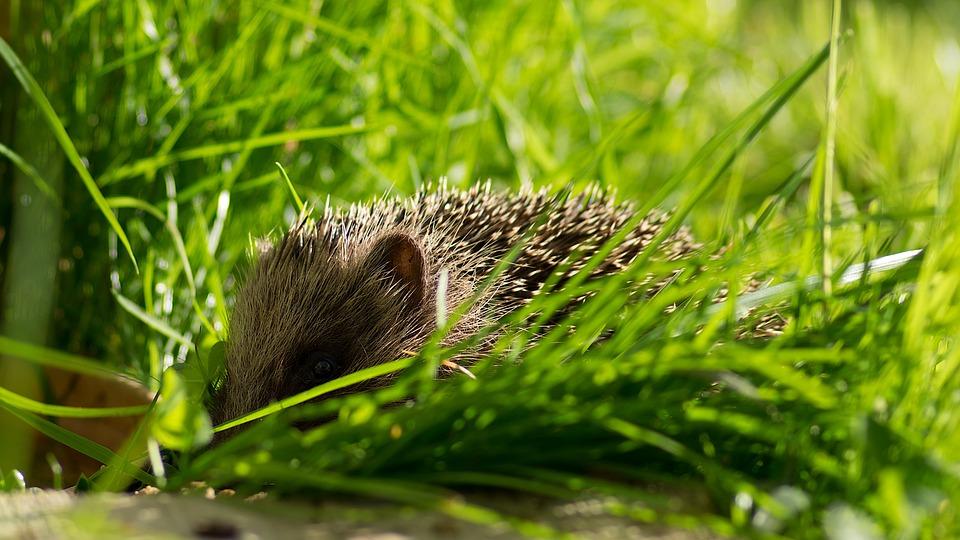 Hedgehog, Garden, Nature, Wild Animals