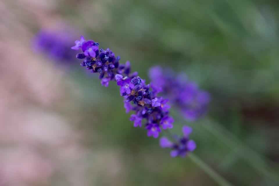 Lavender, Nature, Garden