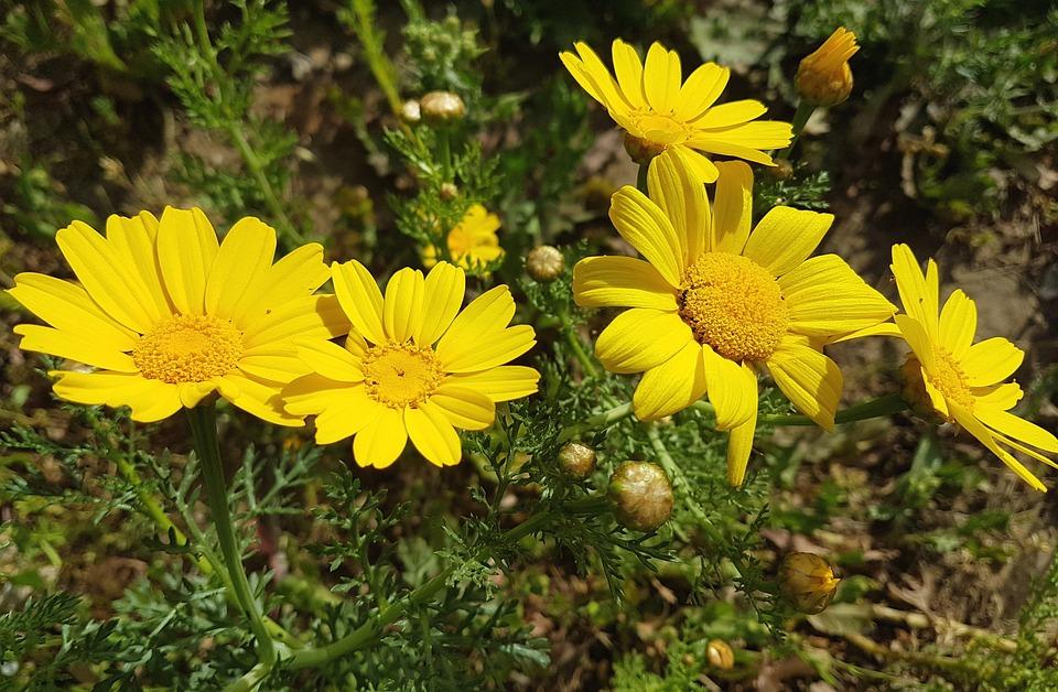 Nature, Flower, Flora, Summer, Garden, Mums, Blooming