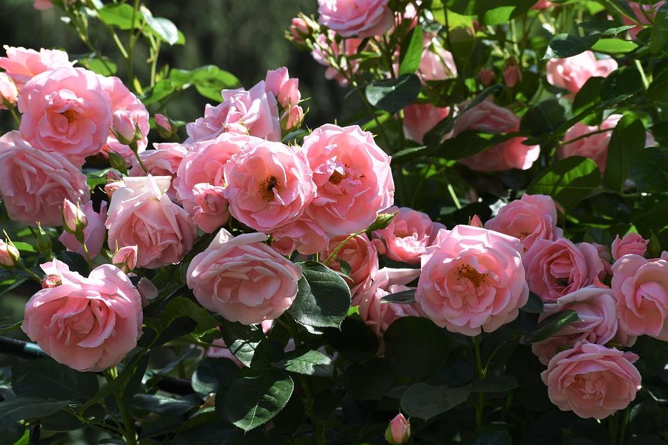 Rose, šípová, Pink, Flower, Ker, Nature, Garden