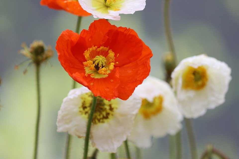 Poppy, Sage Color, Meadow, Nature, Garden, Flora, Plant