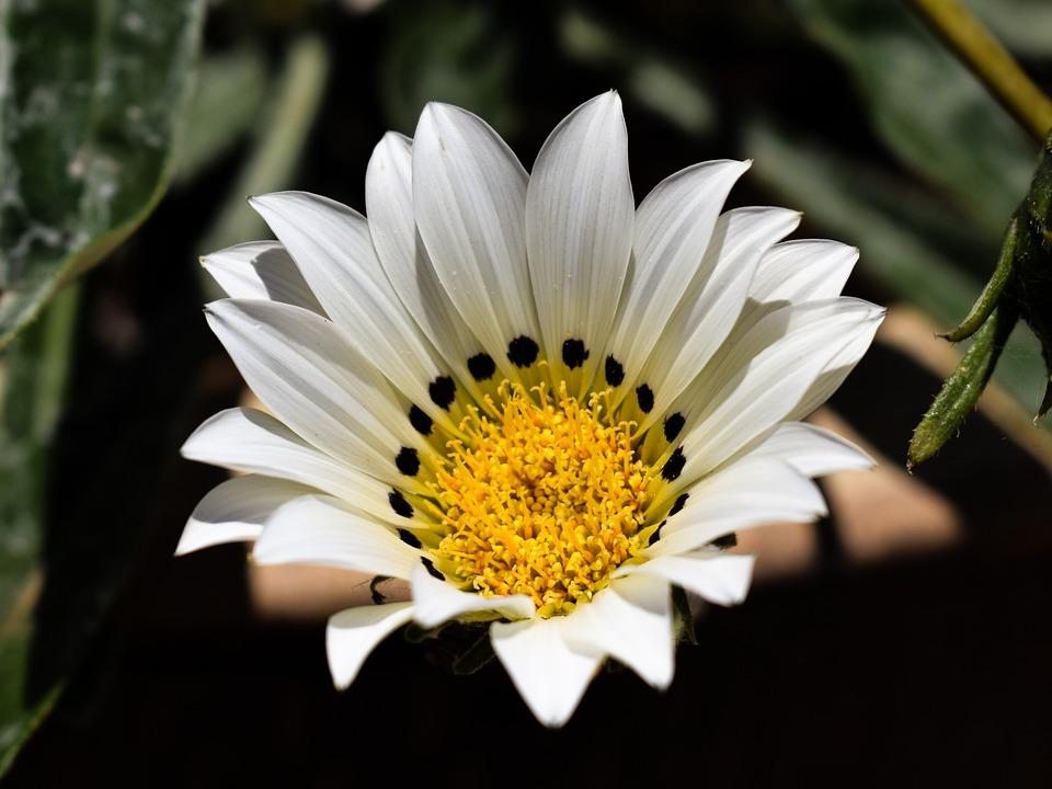 Gazania, White, Flower, Nature, Plant, Garden, Blossom