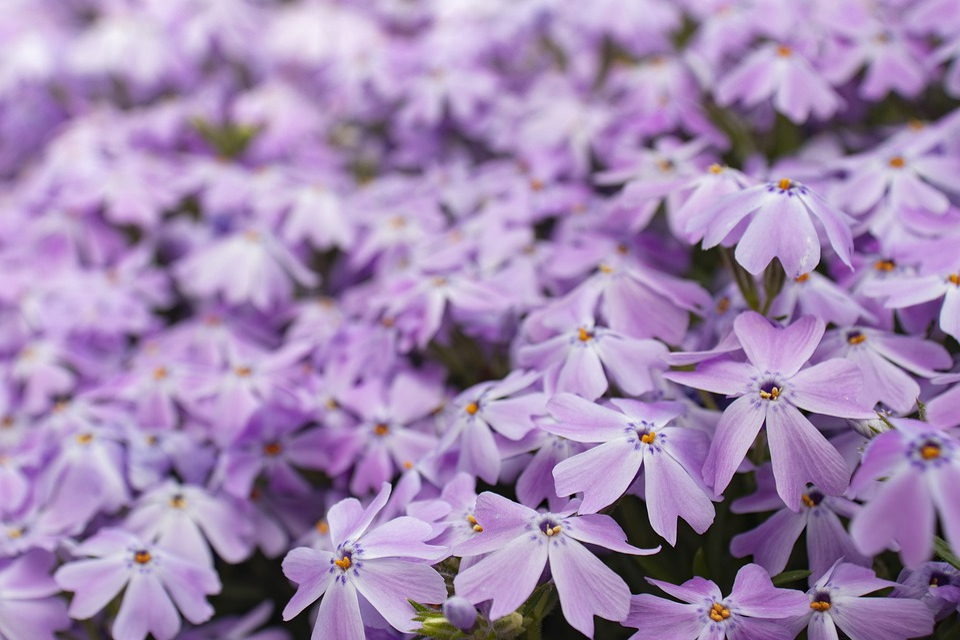 Purple, Flower, Bloom, Nature, Blossom, Plant, Garden