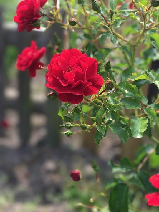 Flower, Nature, Plant, Rose, Leaf, Garden, Season