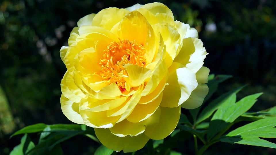 Flower, Peony, Peonies, Garden, Nature, Flowers, Spring